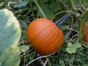 Elizabeth growing pumpkins
